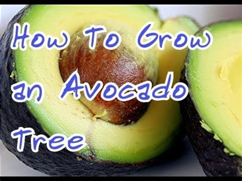 how to start a pit how to grow an avocado tree how to start a avocado seed