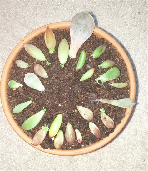 How To Propagate Succulent Leaf Cuttings With Near - how to quickly root propagate succulents from leaves