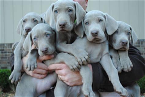 blue weimaraner puppies for sale weimaraner puppies for sale