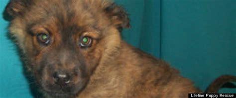 lifeline puppy lifeline puppy rescue s adoptable pets this week photos