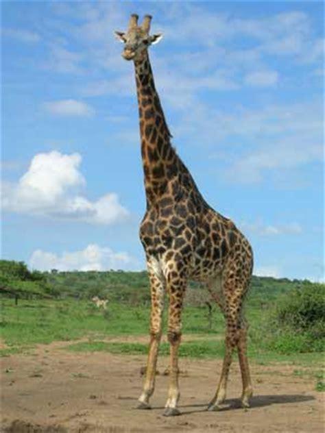 imagenes de jirafas salvajes im 225 genes de jirafas 187 jirafapedia