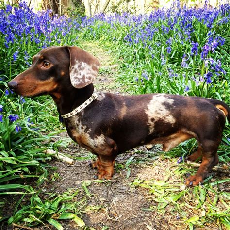 chocolate dapple miniature dachshund puppies for sale dapple mini dachshund miniature dachshund puppies sale uk dachshund breeds picture