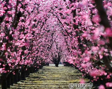 tree with pink flowers 2 background hdflowerwallpaper com