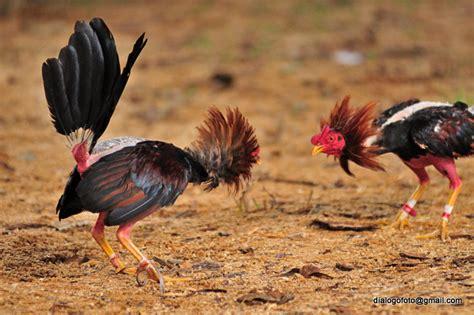 pelea de gallo pelea de gallos cuba 2011 animal insect photos
