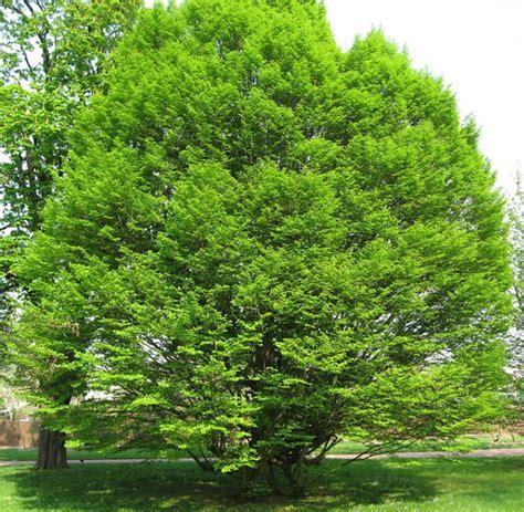 carpinus betulus fastigiata charme commun charmille