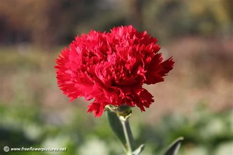 carnation flower flowers in carnations pictures