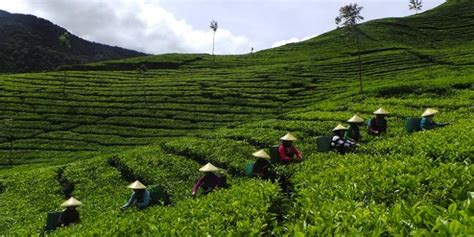 Pabrik Teh Pucuk teh hijau dan pabrik belanda petualangan seru kompas