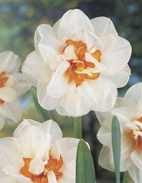 small bulbs for ls daffodil bulbs item follies ls for sale a buy