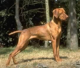 Hungarian Vizsla (or Magyar Vizsla, Vizsla) Dog Breed Profile