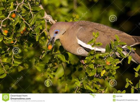 dove eating fruit ii royalty free stock photos image