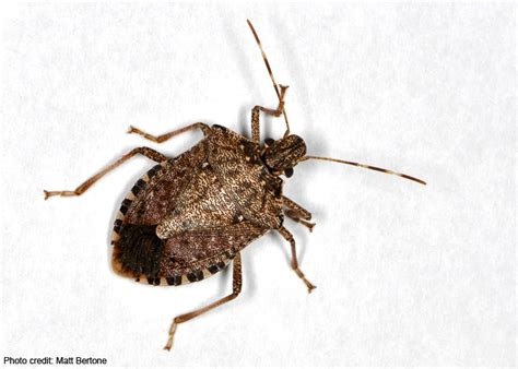 what eats bed bugs learn more about your arthropods rob dunn lab