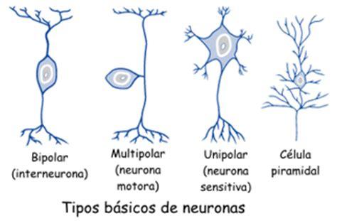 imagenes de neuronas sensoriales existen muchos tipos de neuronas en esta ilustraci 243 n se