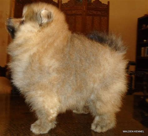 pomeranian puppy price in hyderabad pomeranian puppies for sale yousuf khaja 1 11625 dogs for sale price of puppies