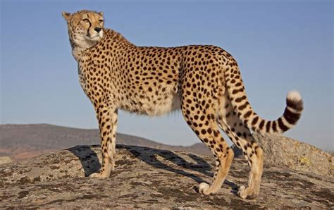 teppich leopard pin index of gepard galerie on
