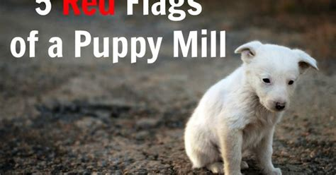 signs of a puppy mill 5 flags of a puppy mill puppy mill and animal