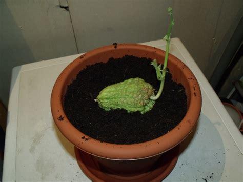 comment cuisiner des christophines comment bien planter des christophines en pots