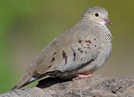 wat doesa brid dove look like common ground dove identification all about birds cornell lab of ornithology