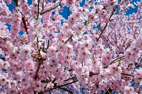alberi in fiore alberi in fiore in primavera