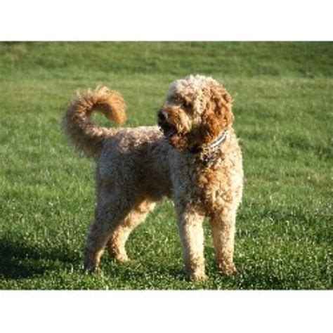goldendoodle puppies for sale scotland goldendoodle studs in scotland wales and