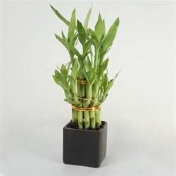 Self Watering double tier lucky bamboo tower bonsai amp bamboo live plants