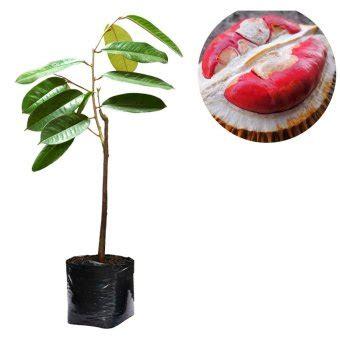 Bibit Durian Merah Kalimantan alamanda bibit buah durian merah tinggi 50cm lazada