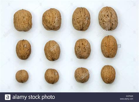 English Walnut Persian Walnut Juglans Regia Nuts Of