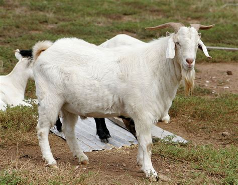 Kambing Kurban domestic goat simple the free encyclopedia