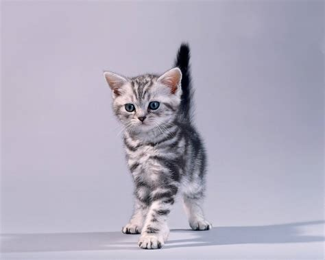 50 lovely american shorthair cats golfian