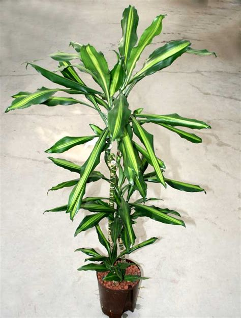 dracaena fragrans dracaena fragrans plants flowers dracaena fragrans a