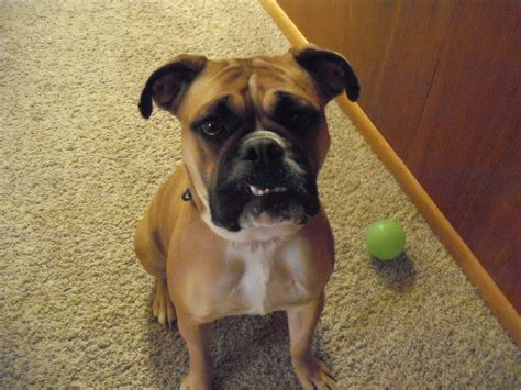 bulloxer puppies bulloxer information pictures reviews and q a greatdogsite