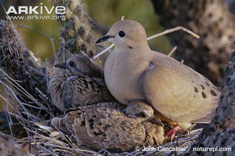wat doesa brid dove look like mourning dove photo zenaida macroura g92981 arkive