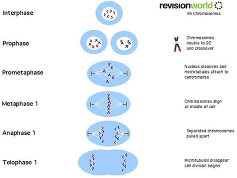 a diagram of meiosis diagram showing mitosis and meiosis diagram get free
