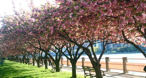 botanical garden cherry blossom 2014 cherry blossom festival botanic garden