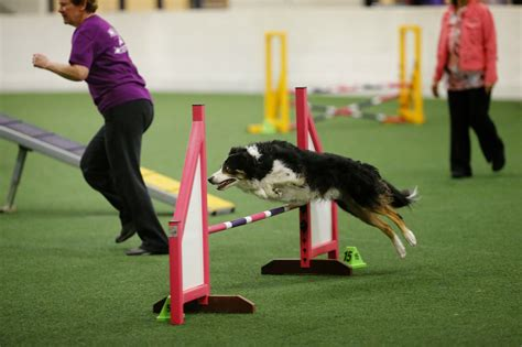 how to a for agility competition agility competition