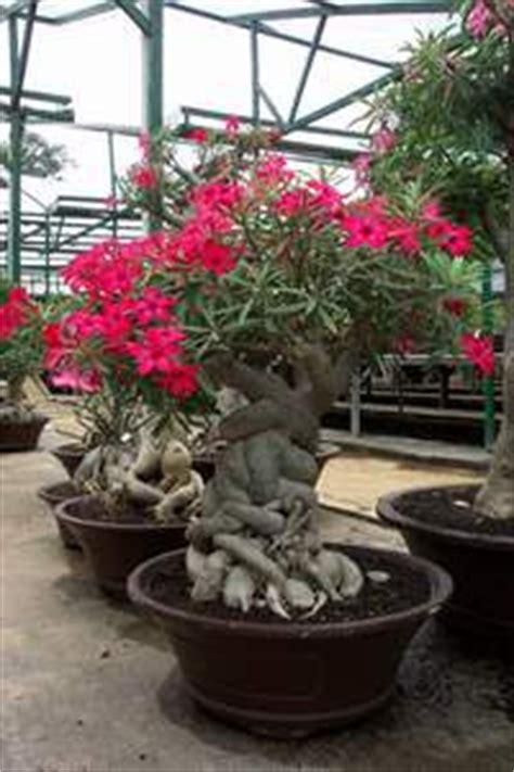 Biji Bunga Adenium 30 kamboja jepang