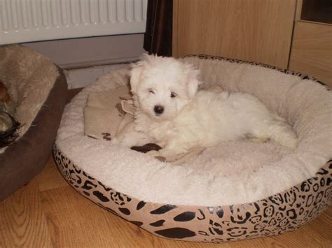 kyi leo puppies for sale 3 4 maltese x lhasa kyi leo manchester greater manchester pets4homes
