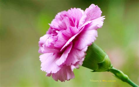 facts about carnations carnation flower facts and meaning hubpages party