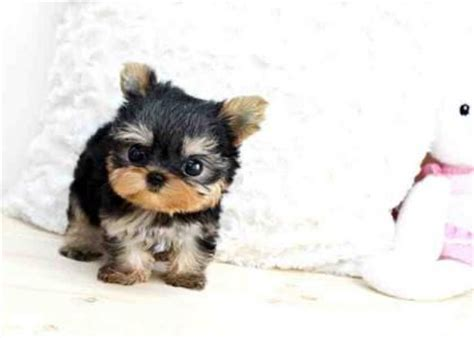 how much are yorkie dogs dogs classifieds and adorable teacup yorkie puppies for ado how much is that
