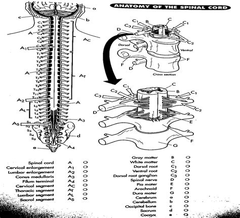 anatomy and physiology coloring workbook answers spinal cord anatomy and physiology coloring pages free image 22