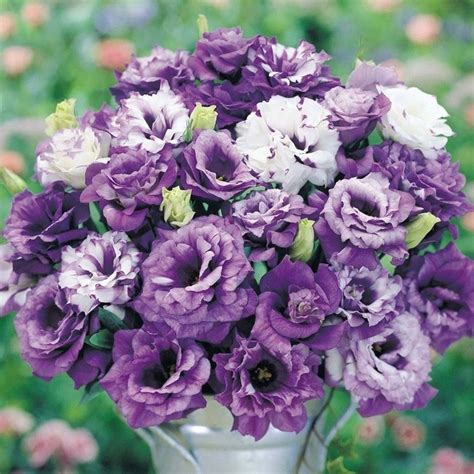 fiori lisianthus lisianthus piante da giardino caratteristiche
