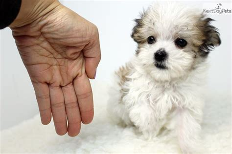 havamalt puppies for sale havamalt puppy for sale near los angeles california b8bfa2f2 e1a1