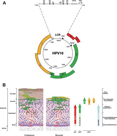 papilloma stages molecular biology of human papillomavirus infection and