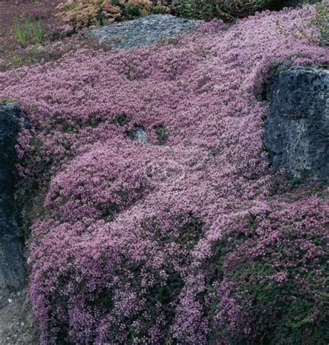 Bibit Benih Seeds Creeping Thyme For Ground Cover Creeping Thyme S Heirloom Seeds