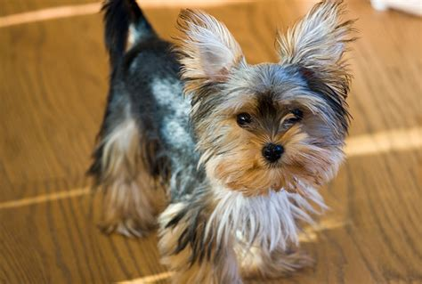 morkie haircuts pictures morkie puppy hairstyles all puppies pictures and