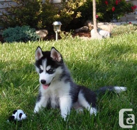 blue eyed husky puppies for sale blue eyed siberian husky puppies for sale in edmonton alberta classifieds