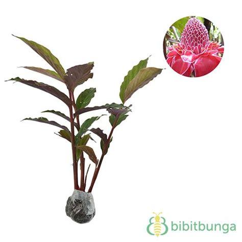tanaman kecombrang honje torch bibitbunga