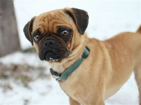 pug crossbreeds types of pug crossbreeds mini boxer pug mix pugs puggles pug mix