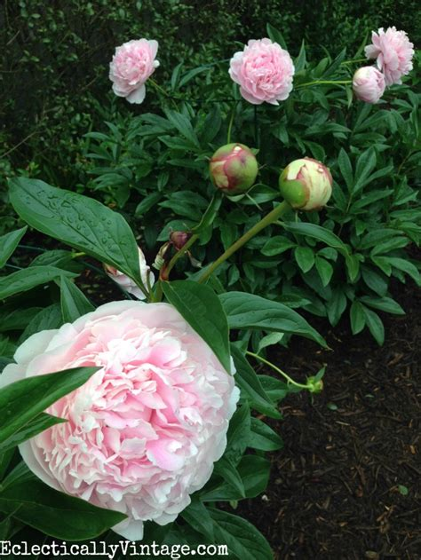 top 28 care for peonies how to plant peonies so they