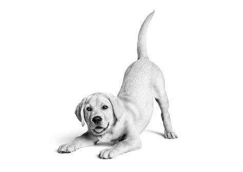 how much should a lab puppy eat royal canin 174 uk tailored health nutrition for cats and dogs