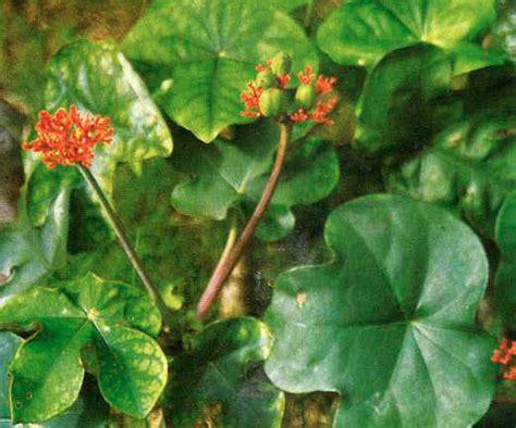 tanaman obat tanamansakti